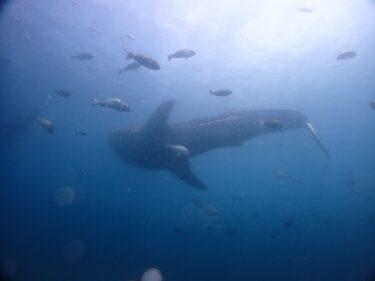 ジンベイザメと泳ぐ。